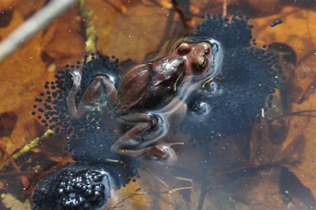 Wood frog laying eggs in Kettle Pond vernal pool at Ninigret National Wildlife Refuge. Credit: Thomas Tetzner