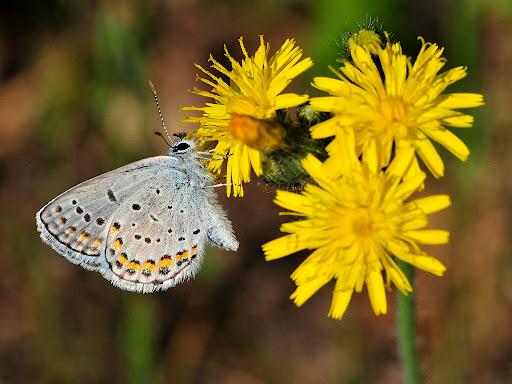 Adult Karner blue butterflies live one to two weeks. Credit: USFWS/Joel Trick