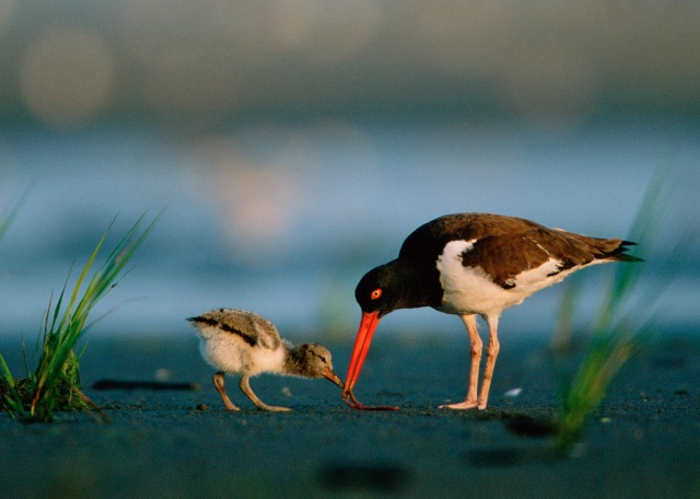 American oystercatcher and chick. Credit: USFWS