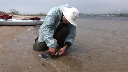 Binti Ackley, a volunteer at Sandy Point, helps tag horseshoe crabs, watch and protect shorebird nests and chicks, and educate visitors. Credit: John Ackley