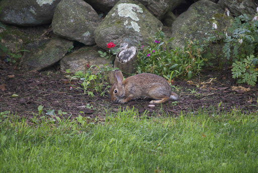 A cottontail on the McAvoy farm. Photo courtesy of Tom McAvoy.