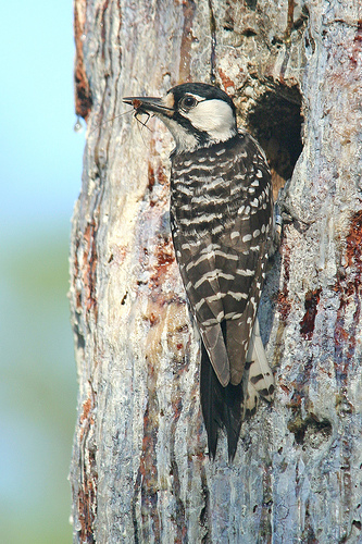 Red-cockaded Woodpecker. Credit: Michael McCloy