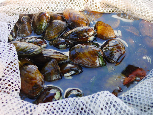 The northern riffleshell is an endangered freshwater mussel that was historically found from Ontario to Kentucky and Alabama. Credit: Angela Boyer/USFWS