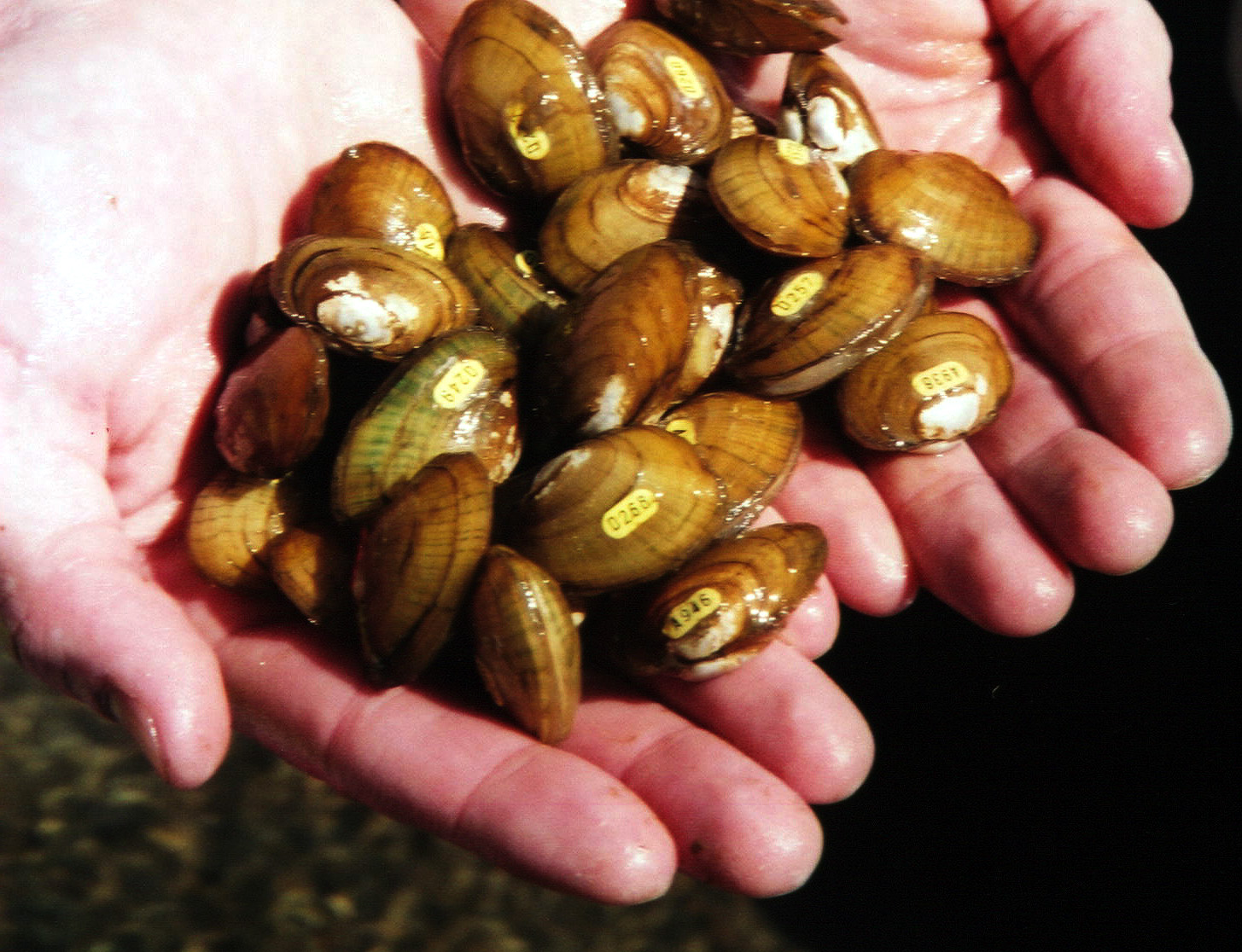 Not just rocks: The mussels of our rivers and streams