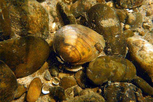 Clubshell mussel. Credit: USFWS