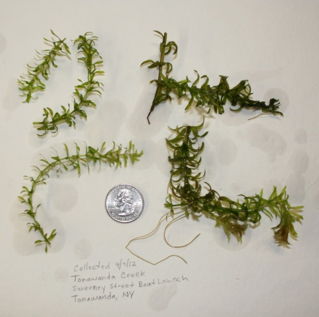 The first collection of Hydrilla verticillata from Tonawanda Creek. Credit: USFWS