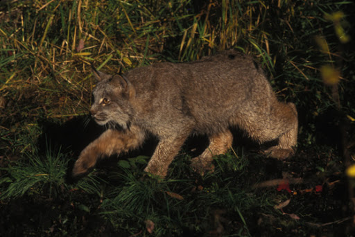 The Canada lynx range extends from Alaska, through much of Canada, to the boreal forests in the northeastern U.S., Great Lakes, Rocky Mountains and Cascade Mountains. Credit: USFWS