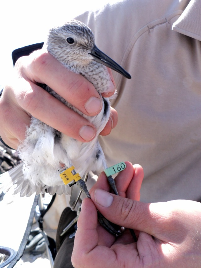 A juvenile red knot ready for release, with a geolocator on one leg and a lime green flag on the other leg. Credit: USFWS
