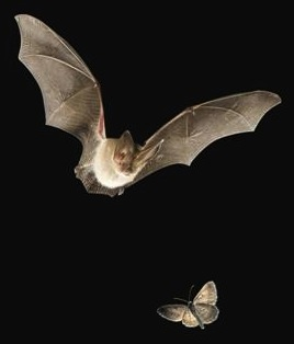 Bat hunting a moth. Credit: Bat Conservation International