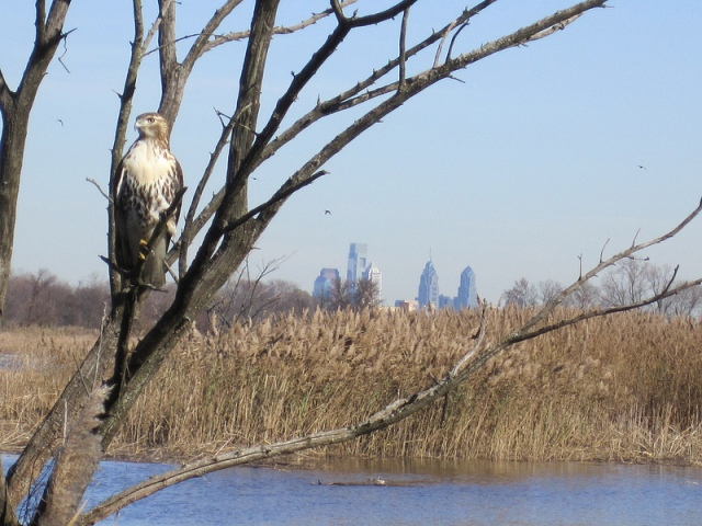 A hawk perches at John Heinz National Wildlife Refuge at Tinicum in Philadelphia. Credit: Derik Pinsonneault/USFWS