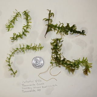 The first collection of hydrilla verticillata in Tonowanda Creek. Credit: USFWS