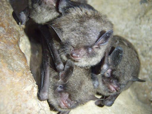 Indiana bats. Credit: USFWS/Ann Froschauer