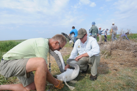 An employee holds a brown pelican as the band is attached. Credit: Pete McGowan/USFWS