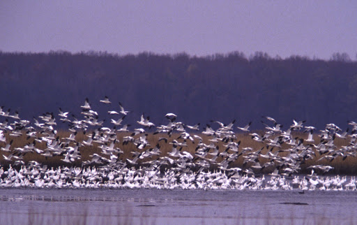 Snow geese take off from Bombay Hook National Wildlife Refuge, Del. Credit: USFWS