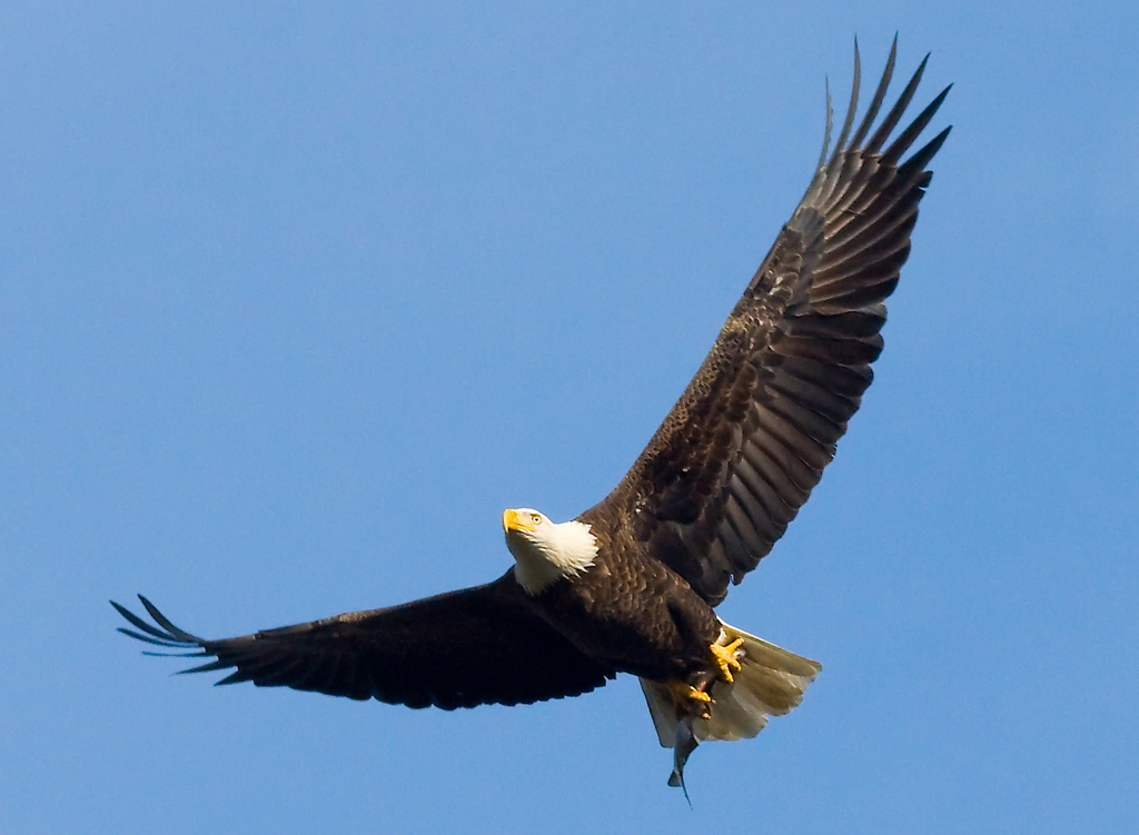 Bald eagle holding a fish in its talons at John Heinz National ...