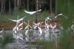 A flock of egrets. Credit: Bill Butcher/USFWS