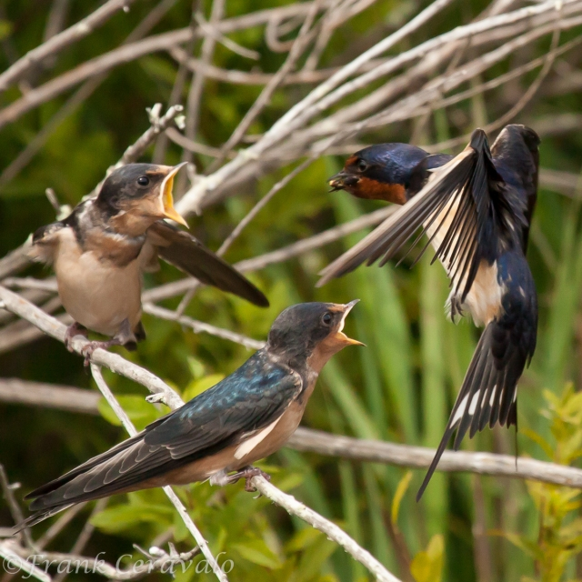 Barn Swallows on A-Frame Road