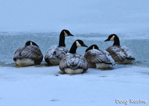 Snow on Canada geese
