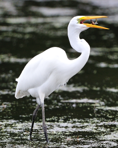Great Egret at Motezuma National Wildlife Refuge