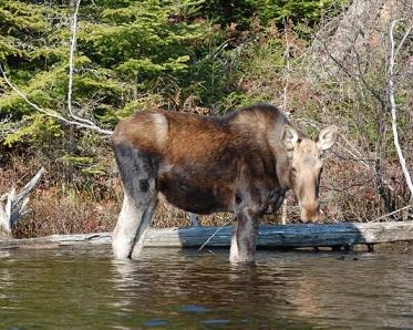 moose_trustom_pond_nwr_thomas_tetzner_fws
