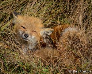 Red fox at Edwin B. Forsythe National Wildlife Refuge