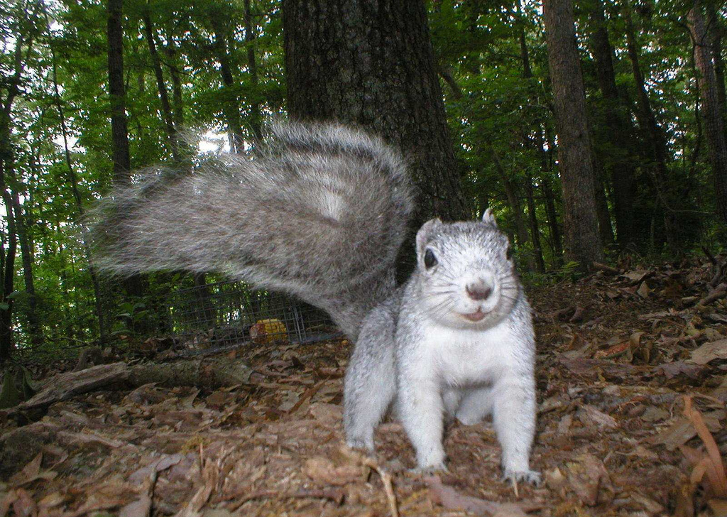 Delmarva fox squirrel caught on remotely triggered camera. Courtesy of Delaware Department of Natural Resources and Environmental Control