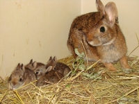 Captive-bred New England cottontails with mom at Roger Wiliams Park Zoo in Rhode Island. Credit: Lou Perrotti/Roger Williams.