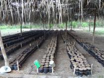 A photo of the nursery for the cacao plants. Credit: BFREE