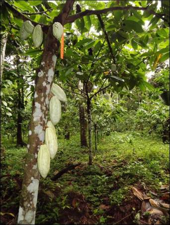 An example of a cacao forest, which provides habitat for overwintering birds. Credit: BFREE