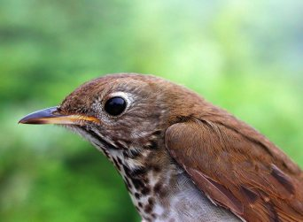 The Bicknell's thrush is among the rarest of eastern North America's songbirds. Climate change threatens the viability of both its wintering and breeding areas. Photo: Steve Faccio, courtesy of the Vermont Center for Ecostudies