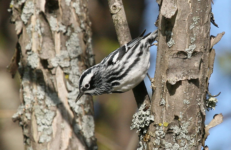 warbler bird birds region western lakes koch jeff growing chocolate forests monitoring term analysis forest national data northeast credit