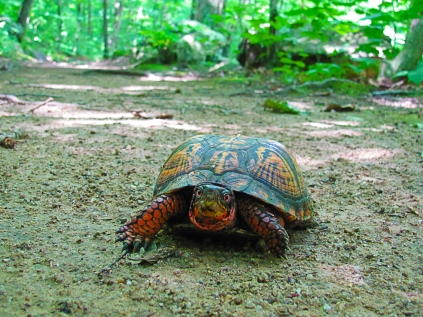 Box turtle off the shore of the Musconetcong River. Credit: John Czifra