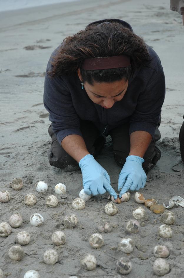 Emarie examines eggs on the beach. Credit: USFWS