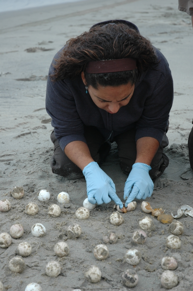 Emarie examines eggs on the beach. Credit: USFWS