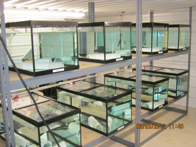 Juvenile hellbenders at our Seneca Nation of Indians rearing facility. Credit: Shane Titus.