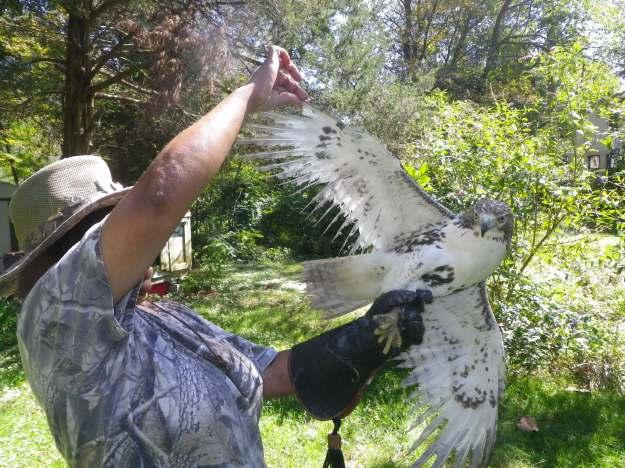 Marla Isaac examines red-tailed hawk. Credit: James Dowd/USFWS