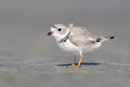 Piping plover. Credit: William Majoros.