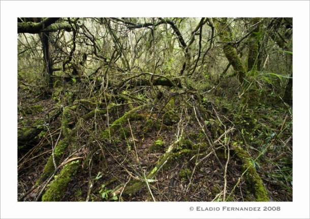Intact cloud forest understory in Sierra de Bahoruco. From the original VCE blog, courtesy of Eladio Fernandez.
