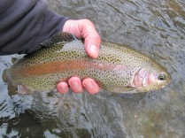 Rainbow trout from the Musconetcong River. Credit: John Czifra