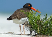 An American oystercatcher and chick. Credit: Jack Rogers