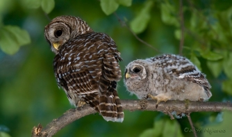 A barred owl chick and adult. Credit: W.H. Majoros