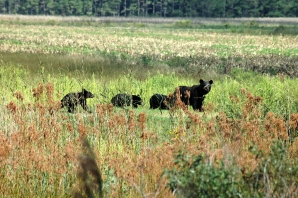A black bear and her cubs. Credit: Garry Tucker, USFWS
