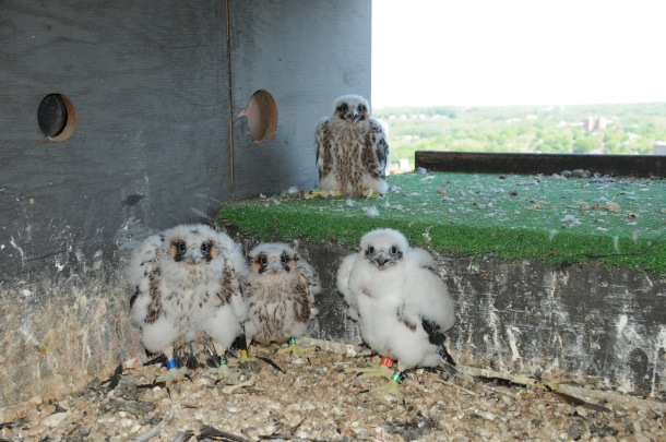 The peregrine falcon chicks on the 19th floor of the Brandywine Building in Wilmington, Del. Credit: Craig Koppie/USFWS.