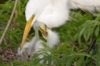A great egret and chicks. Credit: William Majoros