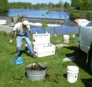 A man with a white shirt, blue jeans and a white ball cap stands next to a cooler and behind a bucket, both filled with lampreys. In the background is a body of water with a small dam.
