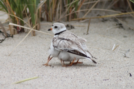 A piping plover and several chicks. Credit: Heidi Sanders, Friends of Ellisville Marsh in Plymouth, Mass.