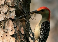 A red-bellied woodpecker feeding young. Credit: William Majoros