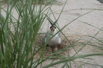 A nesting tern. Credit: USFWS