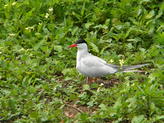 A tern and eggs at Great Gull Island. Credit: Sarah Nystrom/USFWS