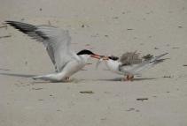 A tern feeding young. Credit: Michael Budd